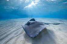Stingray On Shallow Sand Bar