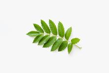 Rowan Leaves On White Background, Green Leaves