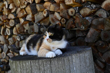 Calico Cat With Tri-color Coat Is Lying On A Wooden Block