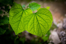 A Leaf In Focus In Yellow Green Color With Dark Green Veins