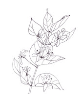 Blooming Wild Honeysuckle, Graphic Black And White Drawing On White Background