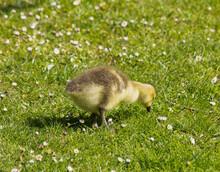 Canada Goose Gosling Grazing II