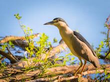 Black-crowned Night-heron(Night Heron) On Dry Banch.