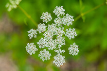 Queen Anne's Lace Wildflower Herb In Nature