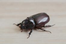 Insect - European Rhinoceros Beetle - Oryctes Nasicornis
