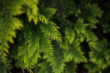Close-up Of Beautiful Green Thuja Leaves. Bright Green Branches In The Foreground And Blurred In The Background. Beautiful Natural Background For The Screensaver. Green Hedge.