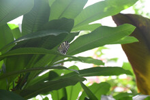 Rice Paper Butterfly On Plant Close Up
