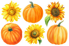 Flowers Sunflowers And Pumpkins On A White Background, Hand-drawn. Watercolor Illustration, Autumn Harvest