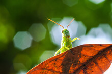 Green Grasshopper Hiding On The Leaf Against Green Nature Background