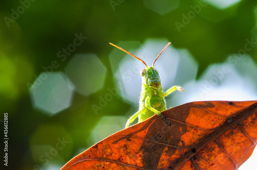 Canvas Print Green grasshopper hiding on the leaf against green nature background