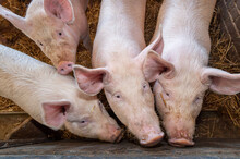 Bien être Animal, élevage De Porcs Sur Paille