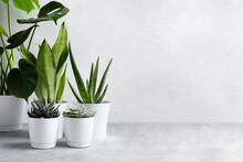 A Collection Of Different House Plants: Succulents, Echeveria, Haworthia, Aloe Vera, Monstera, Sansevieria In Different Pots. Houseplants In A Modern Interior. Home Gardening Concept.