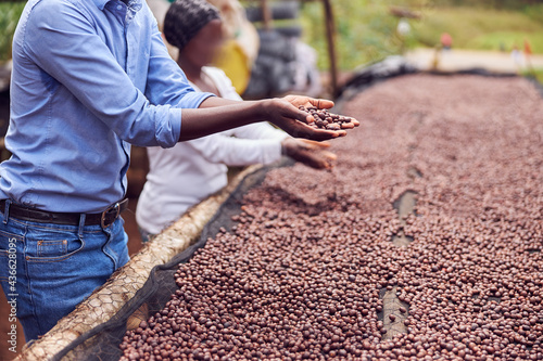Obraz na plátně african workers are picking out fresh coffee beans at washing station