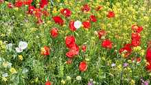 Poppies In The Field Moved By The Wind