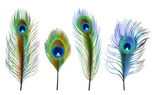 Peacock Feathers. Exotic Tropical Birds Beautiful Colored Feathers Decent Vector Realistic Collection