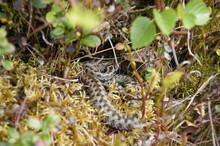 Closeup Of A Gray Snake Crawling Through The Grasses And Plants