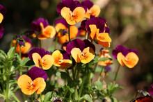 黄色と紫のパンジー