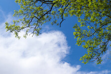 Branches Of A Tree With Young Green Foliage Against A Blue Sky And Beautiful White Clouds. Bottom View