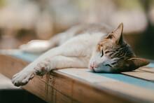 Cat Thai Sleeping On Table Woods