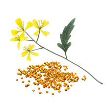 Branch Plant And Seeds Of Mustard Spice.  Mustard Set  Isolated On White Background.  Watercolor Hand Drawn Illustration.