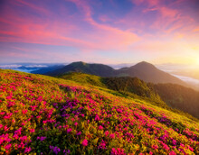 Captivating Summer Scene With Pink Rhododendron Flowers At Sunset.