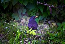 Female Common Blackbird Species Of Thrushes With Yellow Beak. Also Known As Turdidae Or Turdus Merula