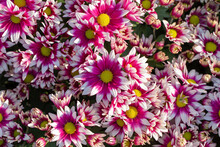 Close Up Of A Bouquet Of Pink Chrysanthemum Flowers In A Pot In The Garden.