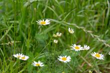 Blooming Flowers Of An Oxeye Daisy (Leucanthemum Vulgare)