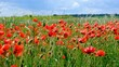 Colorful red Poppy field, Spring landscape