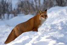 A Hunting Red Fox Pauses In A Snow-covered Winter Scene.