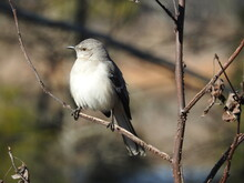 A Northern Mockingbird Perched On A Branch In The Blackwater National Wildlife Refuge, Dorchester County, Maryland.