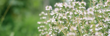 Thyme Or Thymus Vulgaris White Flower Bush In Full Bloom On A Background Of Green Leaves And Grass In The Floral Garden On A Summer Day. Banner