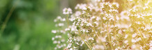 Thyme Or Thymus Vulgaris White Flower Bush In Full Bloom On A Background Of Green Leaves And Grass In The Floral Garden On A Summer Day. Banner. Flare