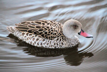 A Close Up Of A Cape Teal Duck