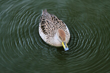 A Close Up Of A Yellow Billed Duck