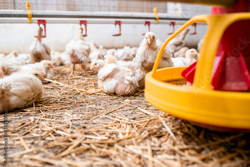 Canvas Print Group of chickens by the feeder at poultry farm.