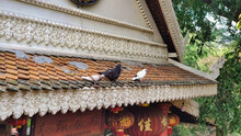 Fat Pigeons Sit On The Roof In Wat Phnom Buddhist Religious Temple. Phnom Penh. Cambodia. Asia