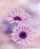 Fototapeta Kwiaty - Kwiaty Osteospermum -Afrykańska stokrotka , różowe kwiaty