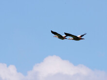 Canada Geese Flying Synchronously Mid-air Against Blue Sky