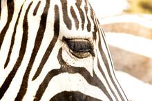 Closeup Shot Of The Head Of A Zebra