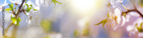 Fotografiet Spring background, banner - flowers of plum tree, selective focus, close up with
