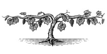 Hand Drawn Illustration Of A Grape Vine In A Vintage Style