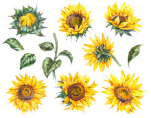 Watercolor Set Of  Sunflowers Flowers Summer Vintage Elements. Natural Yellow Floral Collection