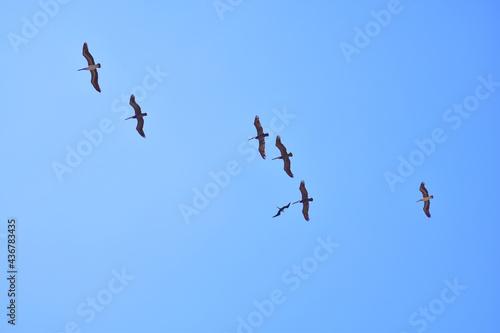 Stampa su Tela Pelicanos volando