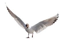 One Black-head Take Wing Seagull