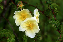 Rosa Xanthina, The Yellow Rose Or Manchu Rose, Native To China And Korea. The Flowers Bloom In Spring.