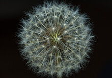 Macro Close Up Of Dandelion Seed Head