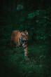 Vertical shot of a beautiful Bengal tiger walking in the lush green forest