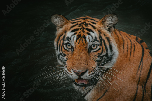 Closeup shot of a Bengal tiger with an open mouth against a dark background Fotobehang
