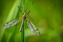 Looking Down Upon A Daddy Longlegs Or Crane Fly On A Leaf